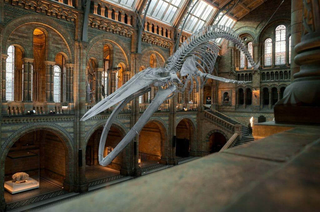 A whale skeleton in the Natural History Museum in London