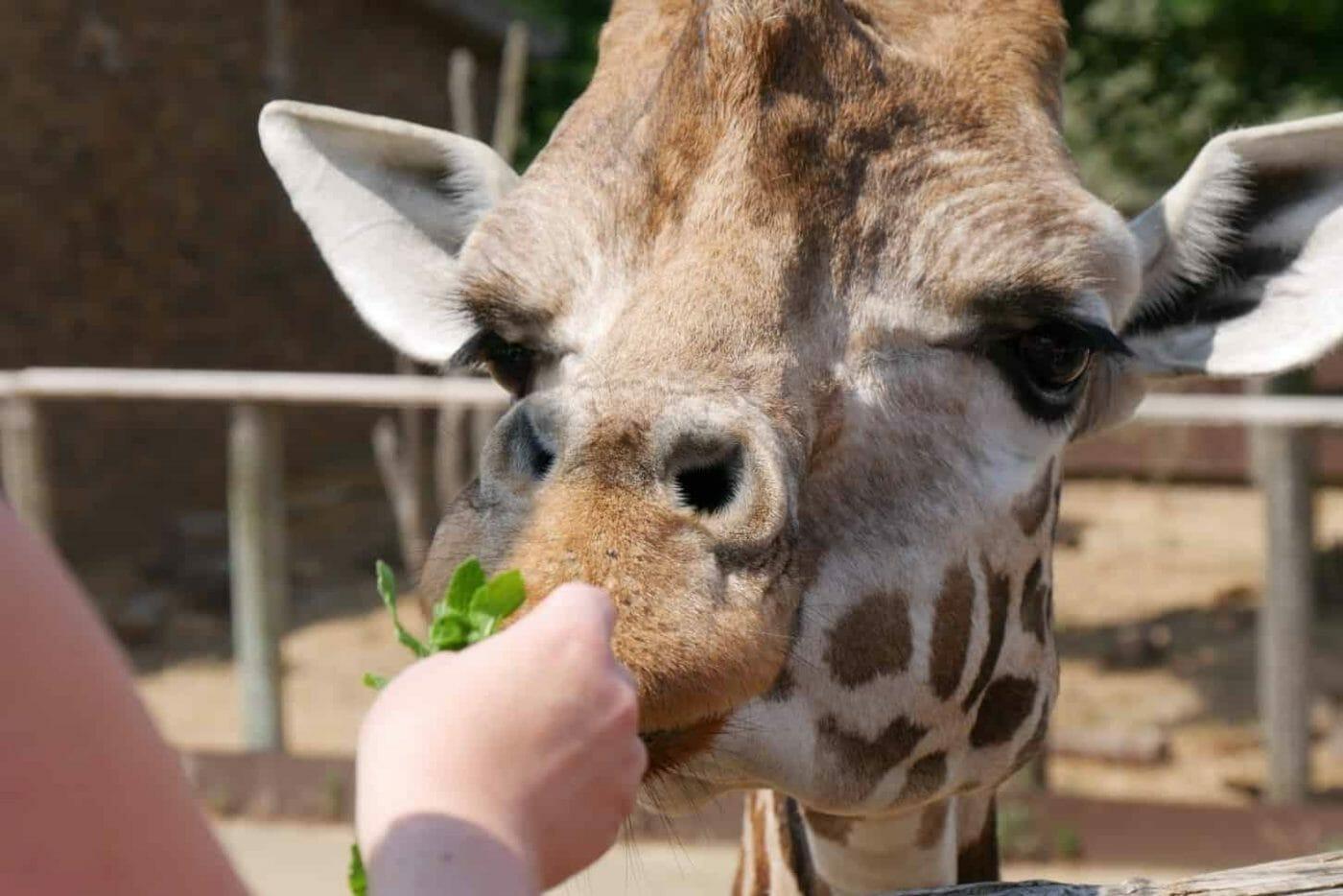 Girl feeding Giraffe mint at London Zoo